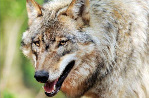Wolf war auch im Enzkreis