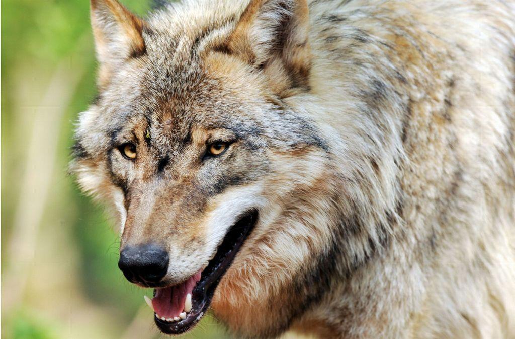 Im Wald bei Wiernsheim  hat der Wolf ein Reh gerissen. Foto: dpa