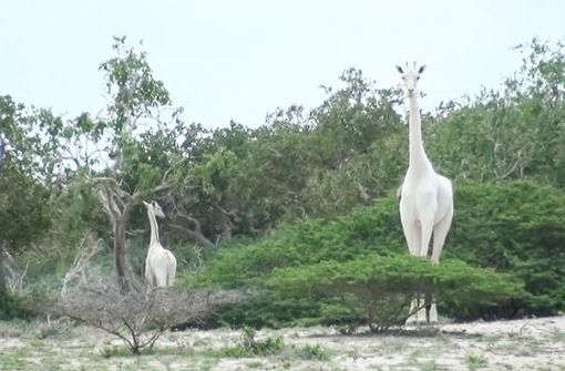 Seltene weiße Giraffe und ihr Junges in Kenia tot aufgefunden