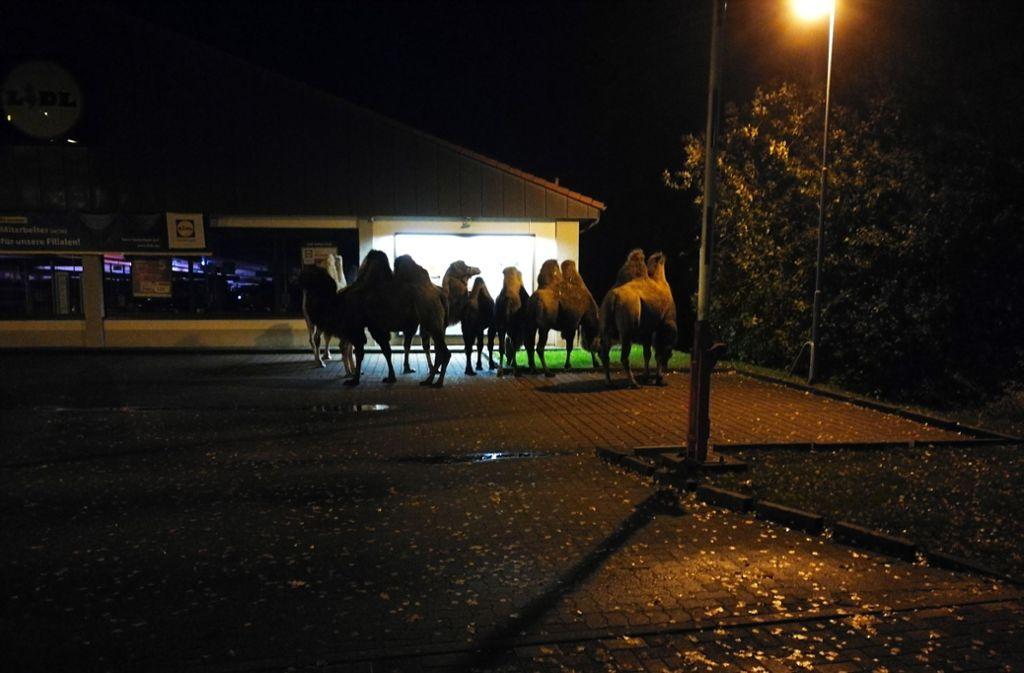 Kurioses Bild: Sieben Kamele stehen am späten Abend vor einem Discounter. Foto: Polizei Celle