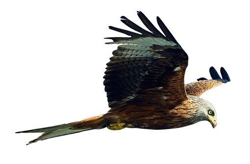 Deutlich gegabelter Schwanz, rötliches Gefieder: der Rotmilan. Foto: dpa