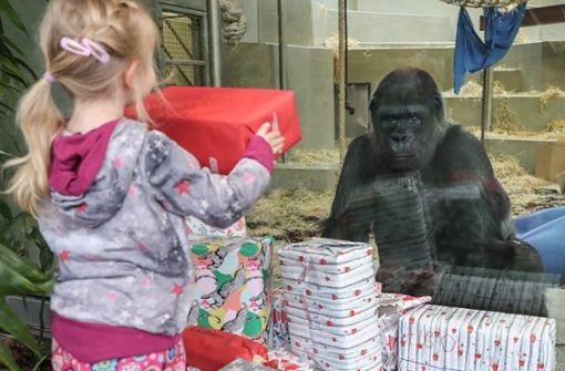Auch Menschenaffen freuen sich über Weihnachtsgeschenke