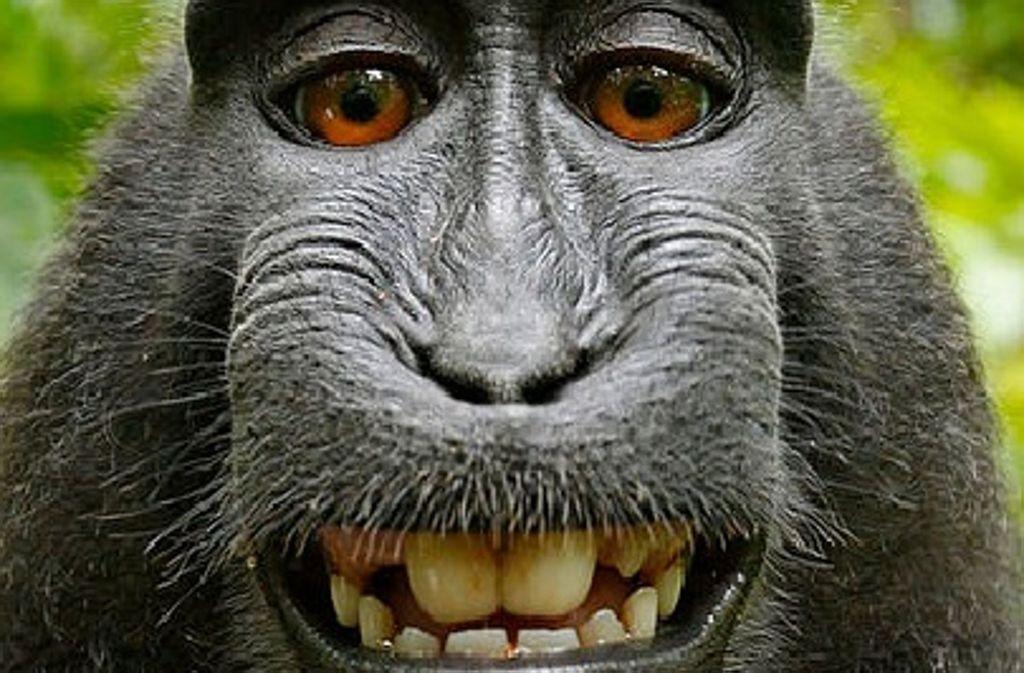 Das Selfie des Makaken Naruto ging um die Welt. Foto: Wikimedia