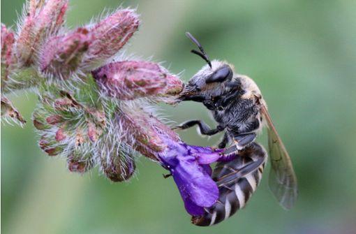 Welches Hotel bevorzugt die Wildbiene?
