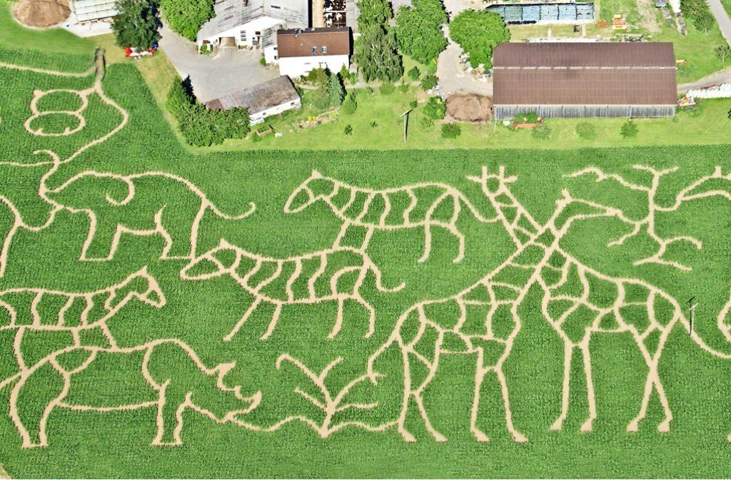 Giraffen, Elefanten und ein Nashorn: Die Siegles setzen bei ihrem Labyrinth in diesem Jahr auf das Thema Safari. Foto: privat