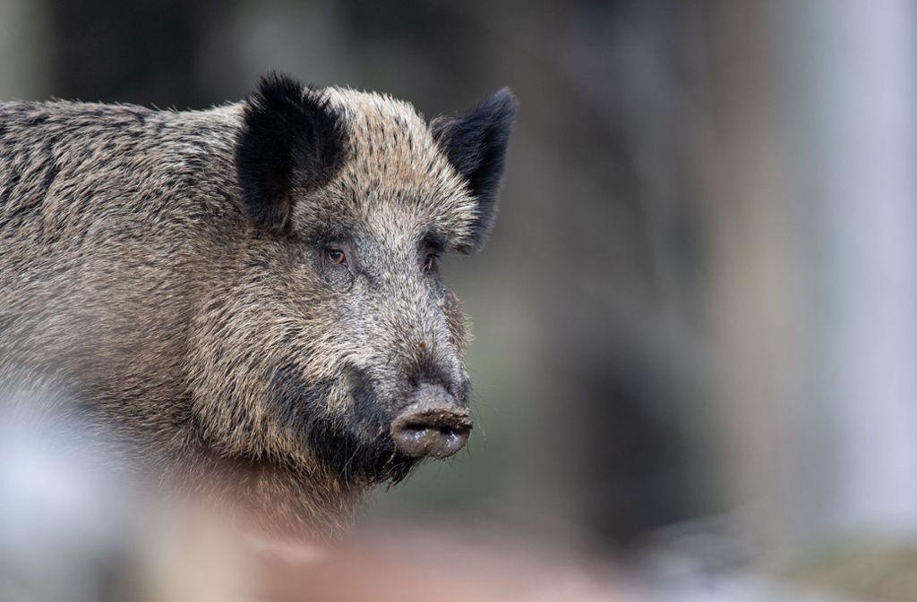 Woher der abgehackte Wildschweinkopf stammt, ist weiterhin unklar (Symbolbild). Foto: dpa/Lino Mirgeler
