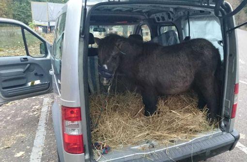Fressendes Pony steht im Kofferraum des Wagens