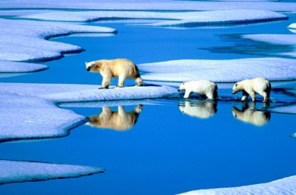 Sterben die Eisbären aus, weil das Eis schmilzt? Eine Frage für Nobelpreisträger! Foto: dpa