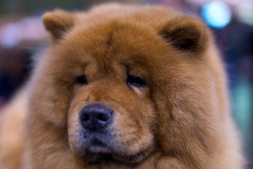 Ob man bei der Frise dieses Chow Chows überhaupt noch etwas richten musste?  Foto: Getty Images