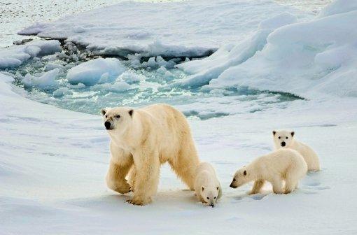 Wenn der Winter schön kalt ist wie zuletzt auf Spitzbergen, haben die Eisbären mehr Nachwuchs. Foto: Mauritius