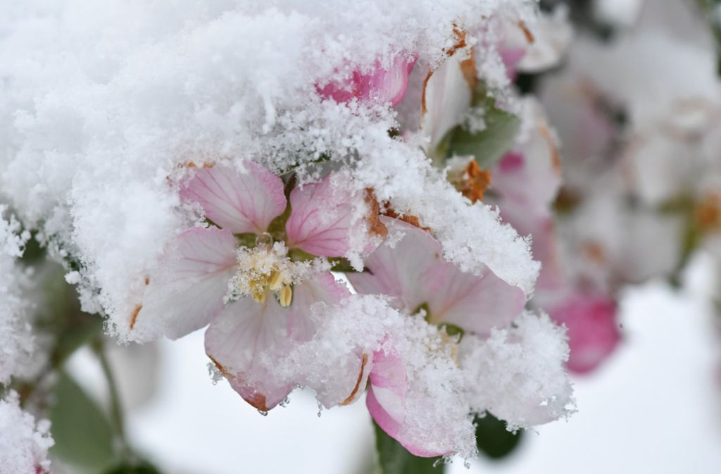 Früh blühende Pflanzen leiden besonders unter dem derzeitigen Wetter (Symbolbild). Foto: dpa
