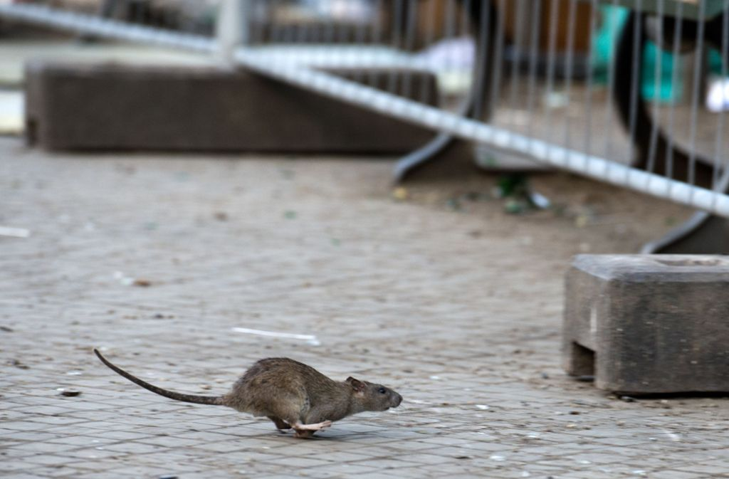 Ein kleiner Nager sorgt in Adelaide für einen Stromausfall (Symolbild). Foto: dpa