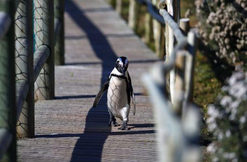 Pinguine genießen Lockdown