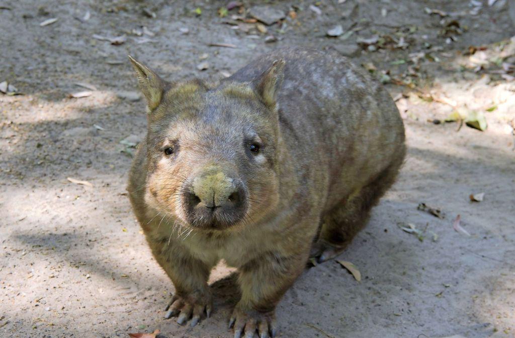 Wombats sind zutrauliche Beuteltiere. Foto: dpa/Dave Hunt
