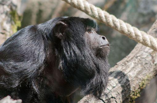 Neue männliche Brüllaffen haben's nicht leicht im Amazonienhaus
