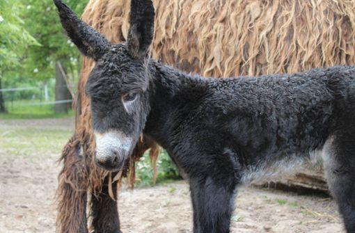 Fohlen und Kälbchen bei seltenen alten Nutztierrassen