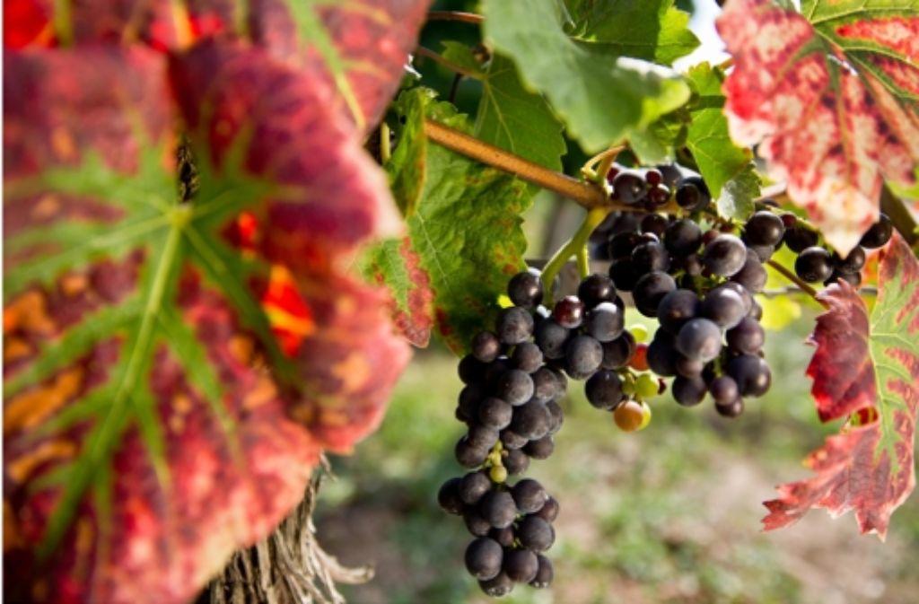 Geradlinig-solide und mit ordentlich Säure: dem StZ-Weinkolumnisten Harald Beck schmeckt der Spätburgunder aus dem Remstal. Foto: dpa