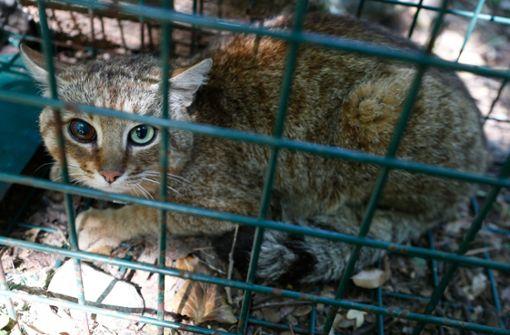 Sagenumwobener Katzen-Fuchs gefangen
