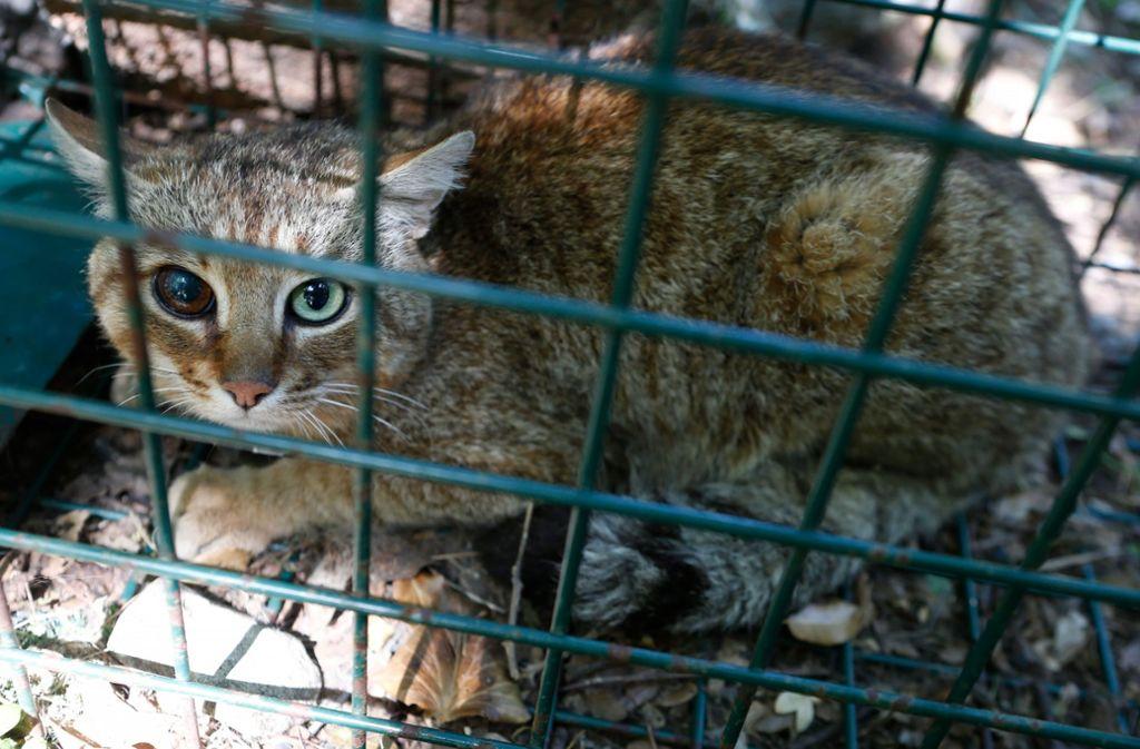 """Auf Korsika wurde ein Exemplar des seltenen """"Katzen-Fuchs"""" gefangen. Foto: AFP"""