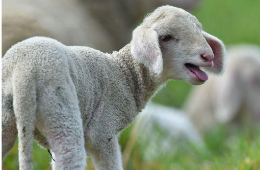 Unbekannte stehlen ein Lamm und quälen ein Schaf