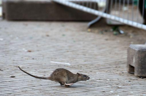Hat das Hochwasser Ratten in die Stadt gespült?