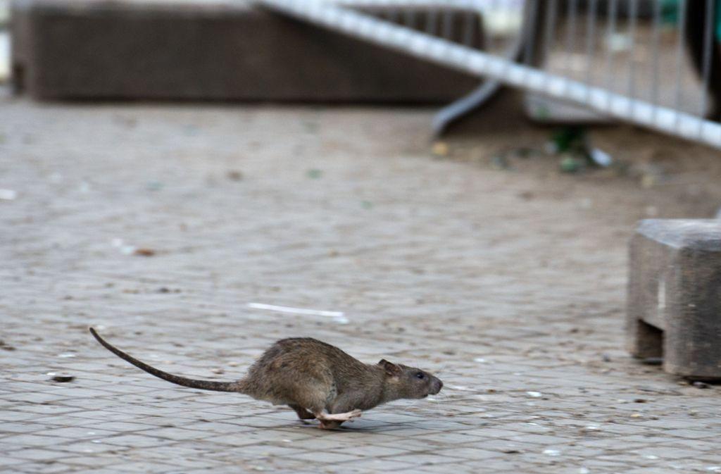 Frisst die Ratte einen der Köder, verblutet sie nach einigen Tagen innerlich. Foto: dpa