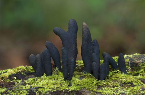 Dieser Pilz nimmt die Form von toten Zehen an