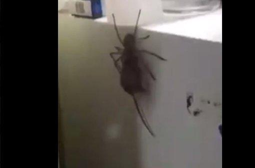 Riesen-Spinne frisst Maus