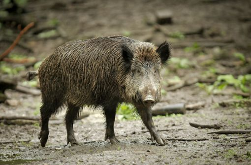 Zu viele Wildschweine –  selbst für Obelix