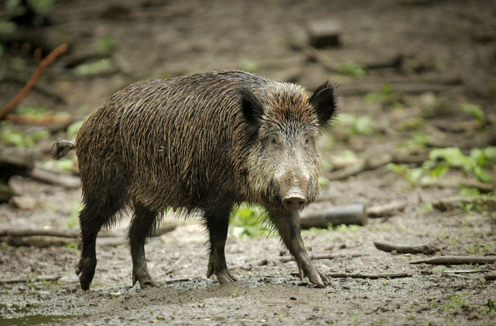 Wildschweine sind Profiteure des Klimawandels. Foto: picture alliance