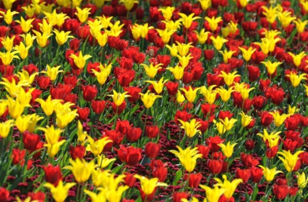 Endlich Frühling! Endlich blühen die Tulpen! Foto: dpa