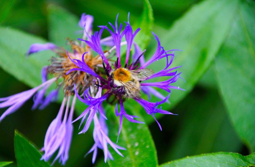 Blütenträume einer Biene Foto: SDMG