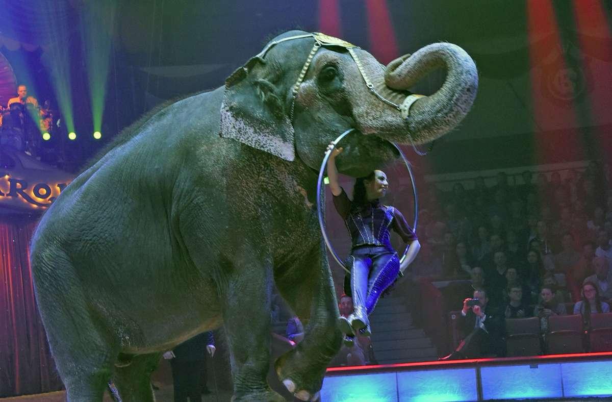 Ein Elefant im Circus Krone – Wildtiere werden weiterhin in der Manege geduldet (Archivbild) Foto: dpa/Ursula Düren