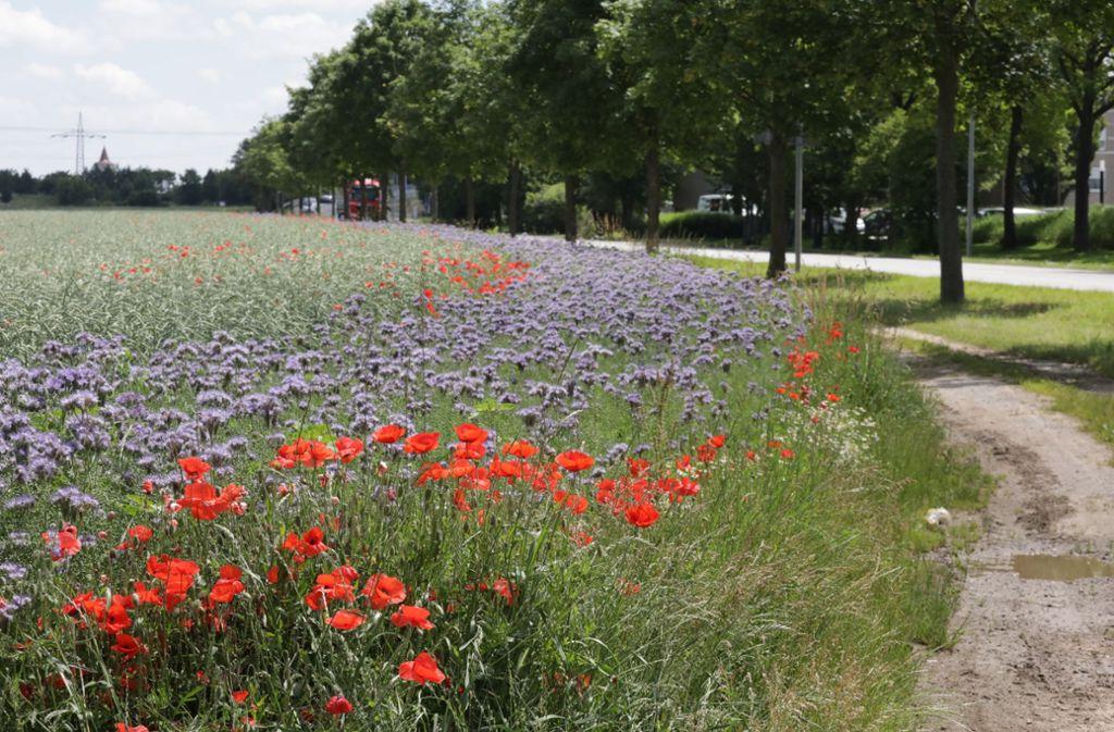 Gegen das Artensterben: Blühwiesen auf dem Schmidener Feld. Foto: Patricia Sigerist