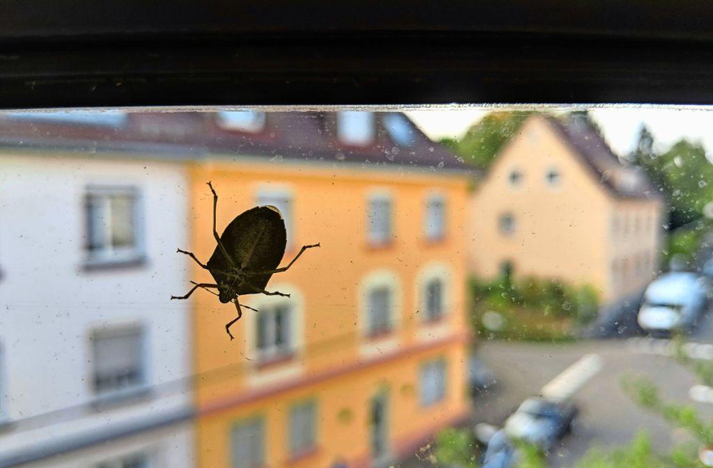 Eine Wanze auf der Suche nach einem warmen Unterschlupf an einem Fenster im Stuttgarter Osten. Foto: Jürgen Brand