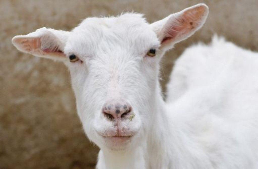 Eine Herde Ziegen hat sich in der Nacht auf Donnerstag auf eine Straße in Ebersbach verirrt. Ein 48-Jähriger kann mit seinem Auto nicht mehr ausweichen und erfasst mehrere Tiere. (Symbolfoto) Foto: dpa