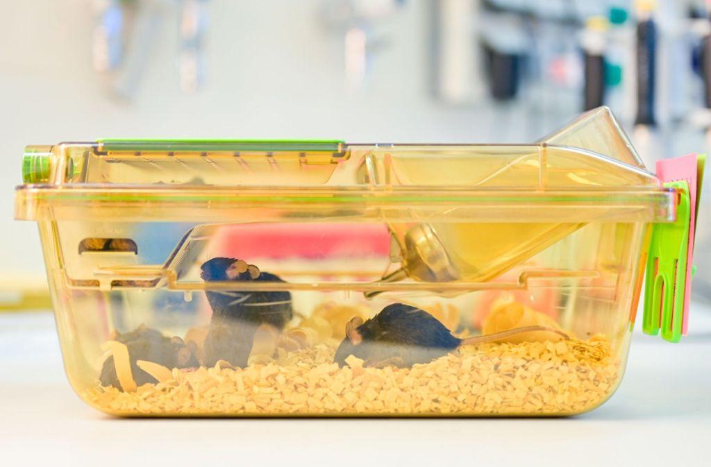 Das Experiment mit den Mäusen am Krebsforschungszentrum in Heidelberg wurde unerlaubt verlängert. Foto: dpa/Uwe Anspach
