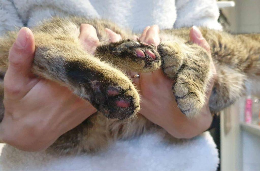 An Silvester ist eine Katze in halle Gequält worden. Foto: Katzenhaus Katzenschutzverein Halle/ Saale e.V.