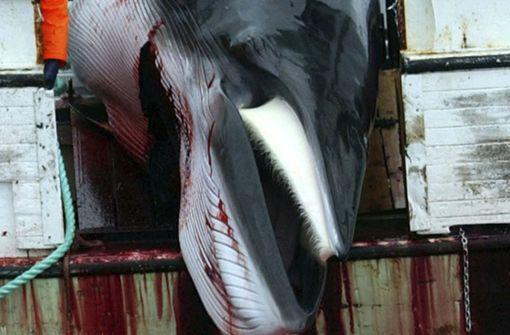 Isländer wollen wieder Wale jagen