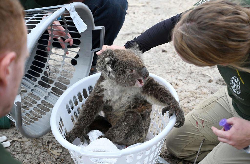 Koalas und viele weitere Tierarten sind laut Experten nach den Buschbrände in Australien auf Hilfe angewiesen. (Archivbild) Foto: AFP/PETER PARKS