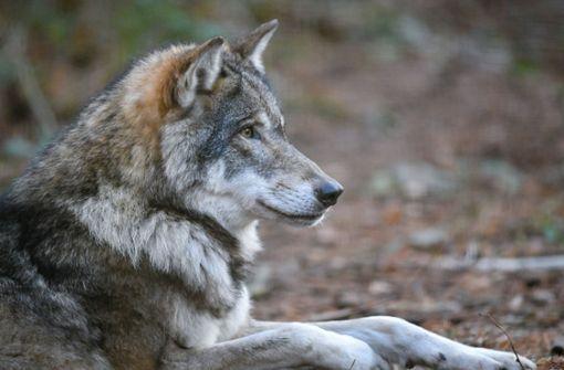 Zweiter Wolf im Nordschwarzwald nachgewiesen