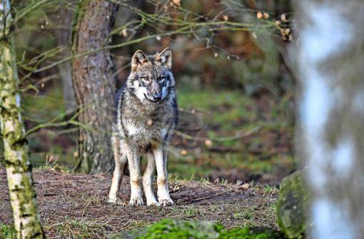 Spürhunde durchforsten Gebiet nach Wolfsspuren