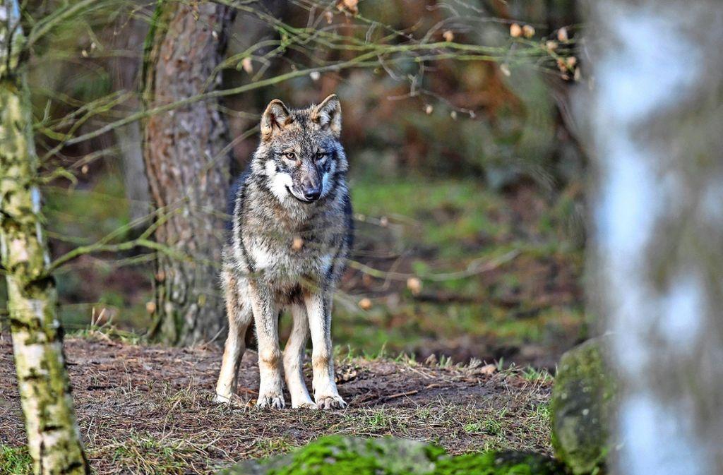 Ob ein echter Wolf in Kallenberg war? Wolfshunde sähen dem Tier zum Verwechseln ähnlich, sagen Experten. Foto: dpa