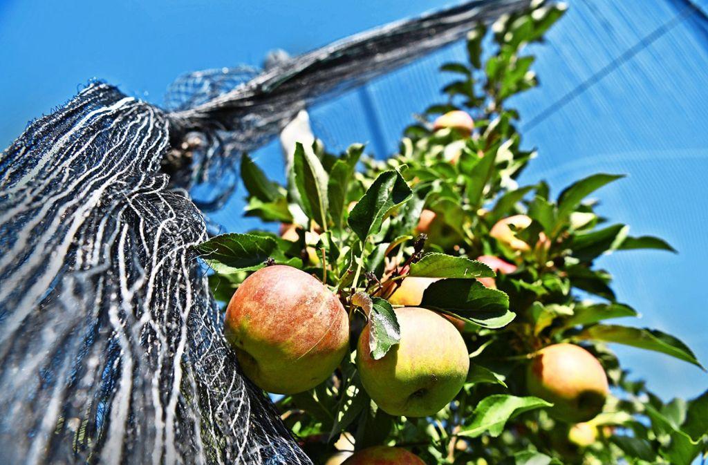 Apfelplantage in Tettnang – nicht immer  stammt  regionaler Fruchtsaft tatsächlich aus der Region. Foto: dpa