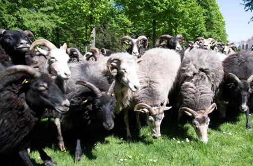 Eltern schreiben 15 Schafe an französischer Grundschule ein