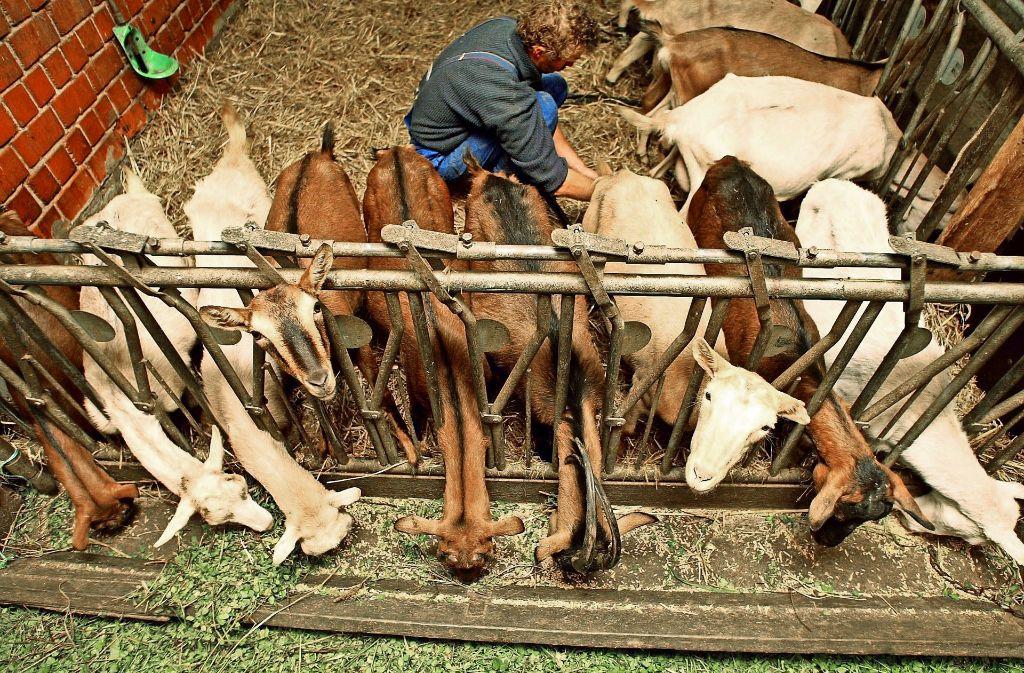 Zecken traktieren nicht nur den Menschen, sondern auch Nutztiere wie etwa Ziegen und Schafe. Foto: Gottfried Stoppel, Adobe Stock/Brad Pict