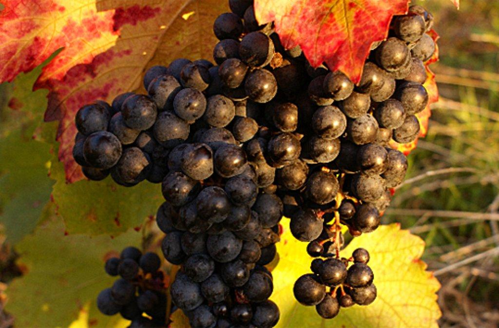 Ein schönes Bild geben die vollen Weinreben im Herbst ab. Foto: Leserfotograf pingu