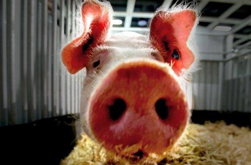 Vier Cent für tierfreundlichere Schweineställe