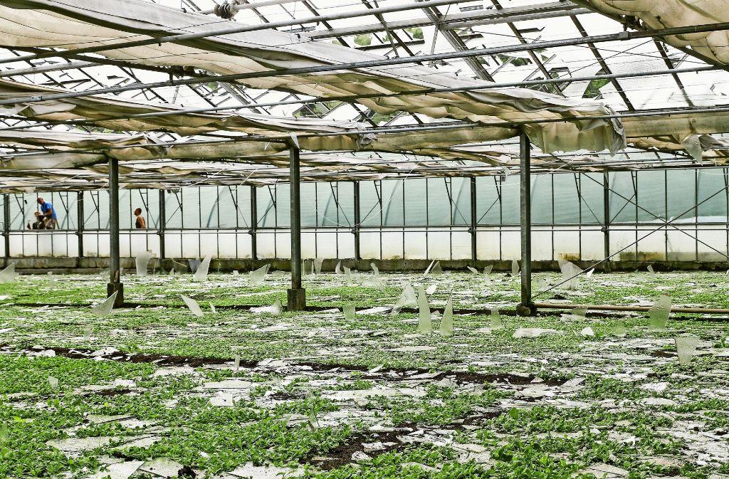 Menschen kamen durch die herabstürzenden Glasteile nicht zu Schaden. Das Gemüse ist durch die vielen kleinen Splitterteile aber nicht mehr  zu retten. Foto: factum/Bach