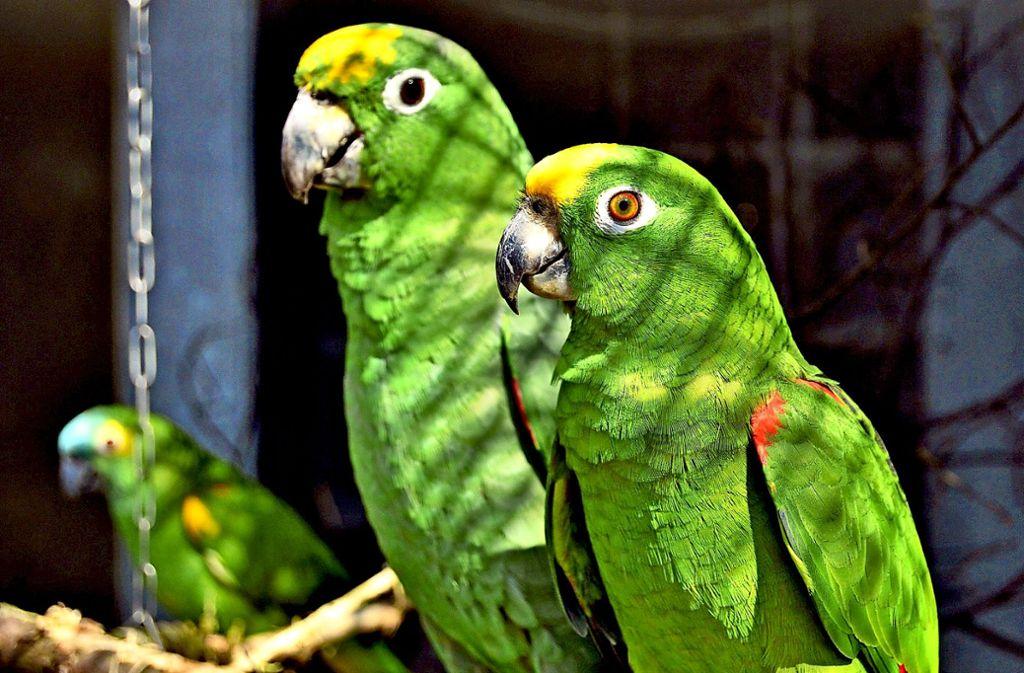 Die gestohlenen Amazonen Amy und Rico werden schmerzlich vermisst. Foto: Tierpark Nymphaea
